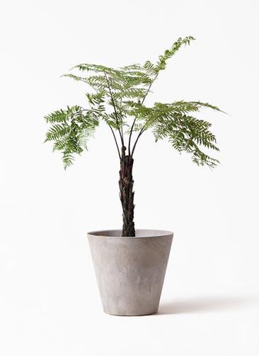 観葉植物 ヘゴ 8号 アートストーン ラウンド グレー 付き