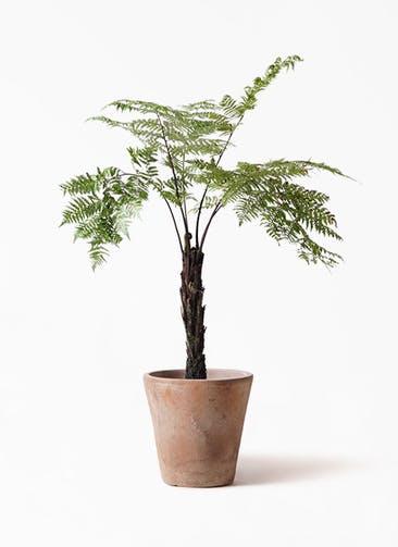 観葉植物 ヘゴ 8号 ルーガ アンティコ ソリッド 付き