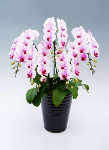 胡蝶蘭中大輪 サクラヒメ 5本立ち