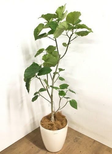 観葉植物 フィカス ウンベラータ 【170cm】 フィカス ウンベラータ 10号 #23201 ラスターポット付き