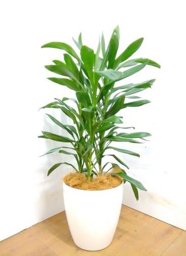 観葉植物 ドラセナ グローカル 【105cm】 ドラセナ グローカル 8号 #23354 ラスターポット付き