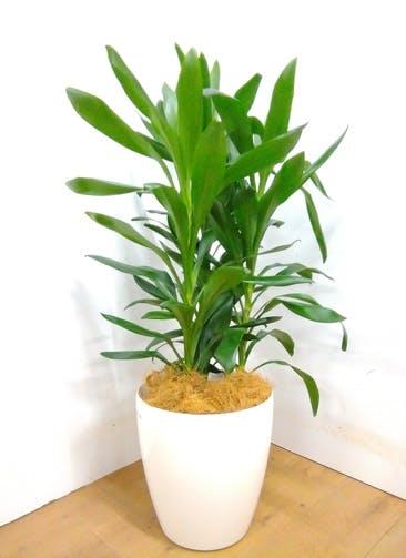 観葉植物 ドラセナ グローカル 【105cm】 ドラセナ グローカル 8号 #23355 ラスターポット付き