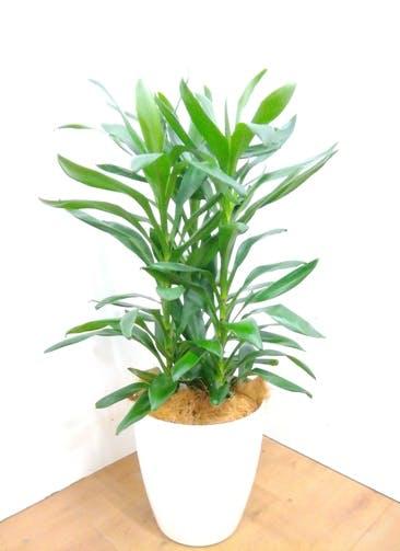 観葉植物 ドラセナ グローカル 【100cm】 ドラセナ グローカル 8号 #23356 ラスターポット付き