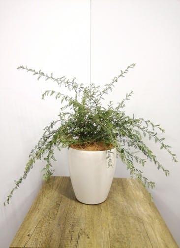 観葉植物 【60cm】 天皇梅6号 #23581