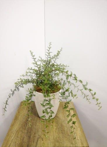 観葉植物 【60cm】 天皇梅6号 #23583