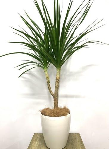 観葉植物 ドラセナ カンボジアーナ 【135cm】 ドラセナ カンボジアーナ 8号 #23642 ラスターポット付き