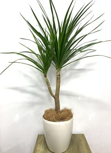 観葉植物 ドラセナ カンボジアーナ 【135cm】 ドラセナ カンボジアーナ 8号 #23644 ラスターポット付き
