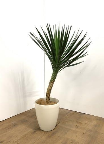 観葉植物 ユッカ 【70cm】 ユッカ センジュラン(アロイフォリア) 7号 #23662 ラスターポット付き
