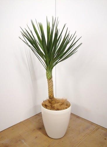 観葉植物 ユッカ 【100cm】 ユッカ センジュラン(アロイフォリア) 7号 #23670 ラスターポット付き
