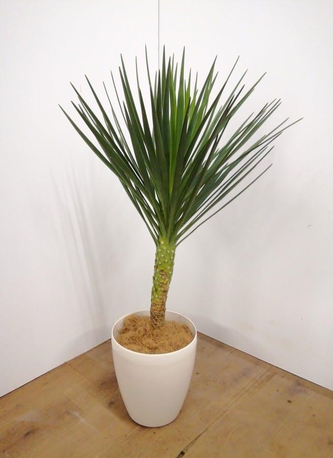 観葉植物 ユッカ 【100cm】 ユッカ センジュラン(アロイフォリア) 7号 #23675 ラスターポット付き