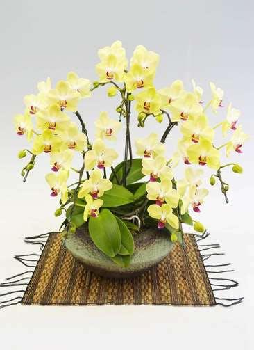 ミディ胡蝶蘭 フォーチュンザルツマン 5本立ち 和鉢まどか敷物付
