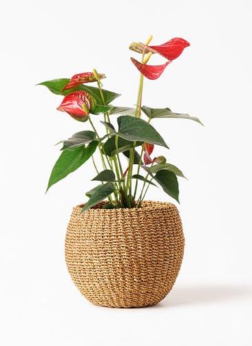 観葉植物 アンスリウム 4号 ダコタ アバカバスケット タン 付き