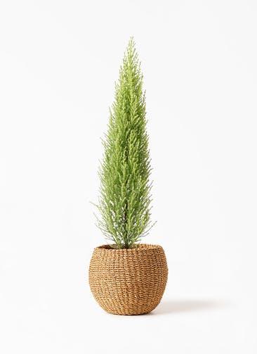 観葉植物 ゴールドクレスト 4号 ノーマル アバカバスケット タン 付き