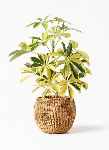 観葉植物 カポック(シェフレラ) 4号 斑入り アバカバスケット タン 付き