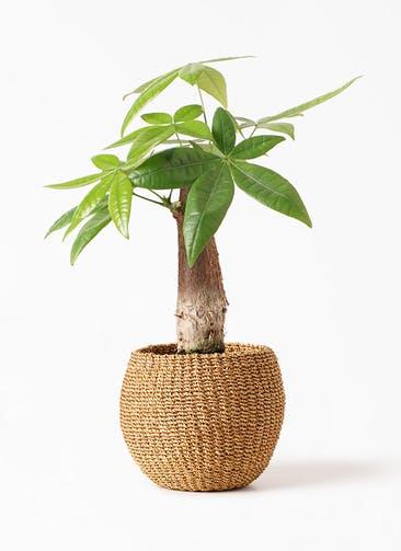 観葉植物 パキラ 4号 朴 アバカバスケット タン 付き