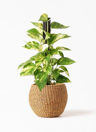 観葉植物 ポトス 4号 アバカバスケット タン 付き