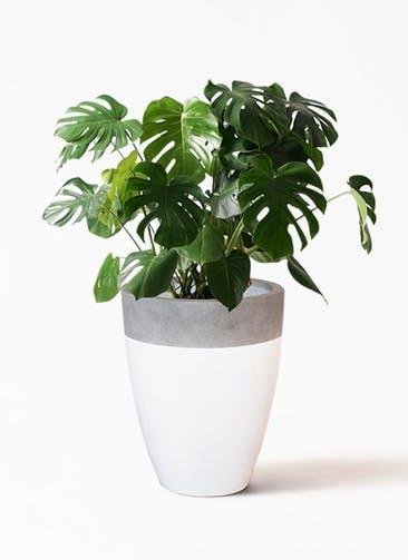 観葉植物 モンステラ 8号 ノーマル ファイバーストーン カプリ 白 付き