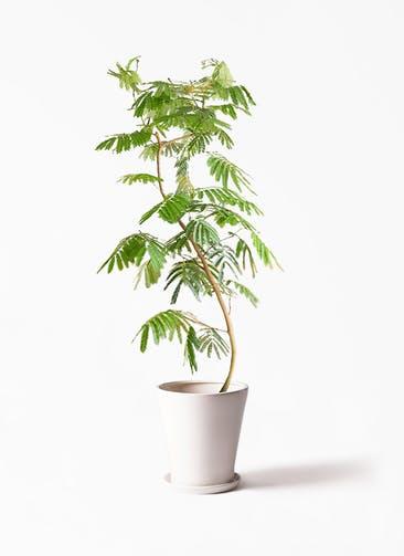 観葉植物 エバーフレッシュ 10号 サブリナ 白 付き