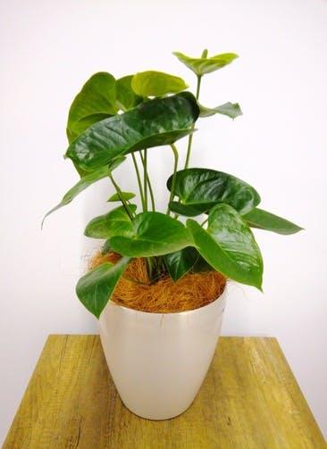 観葉植物 アンスリウム 【60cm】 アンスリウム 6号 #23828 ラスターポット付き
