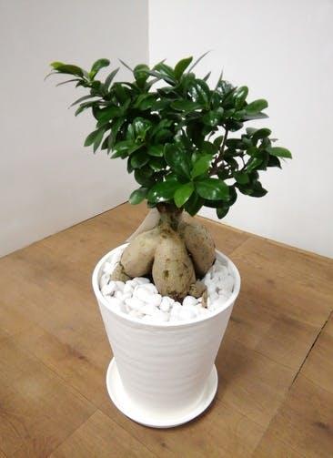 観葉植物 【60cm】 ガジュマル 8号 #23938