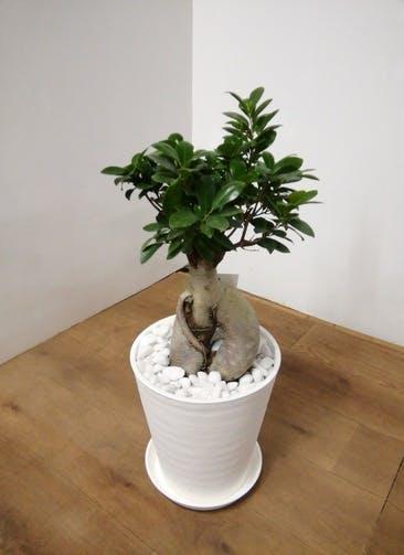 観葉植物 ガジュマル 【65cm】 ガジュマル 8号 #23937 ラスターポット付き