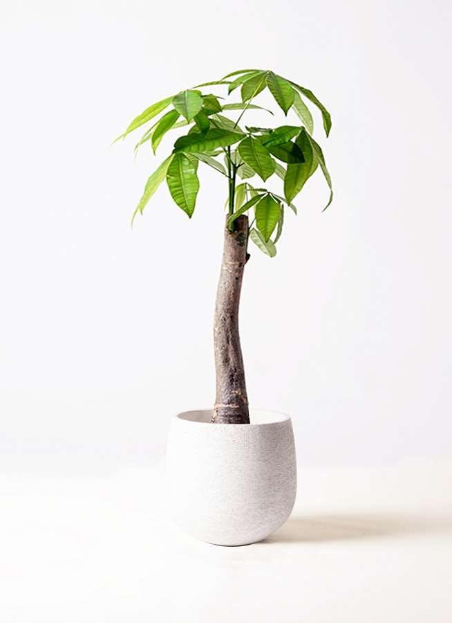 観葉植物 パキラ 8号 朴 エコストーンwhite 付き