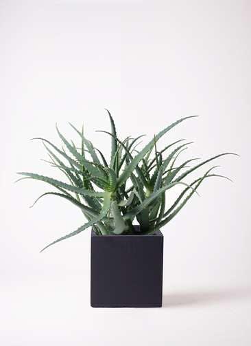 観葉植物 キダチアロエ 8号ベータ キューブプランター 黒 付き