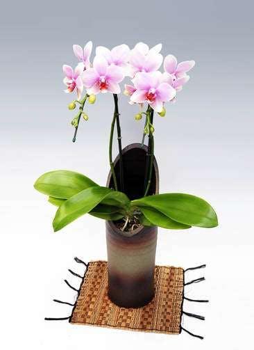 胡蝶蘭中大輪 おぼろつき 2本立ち 和鉢かぐや