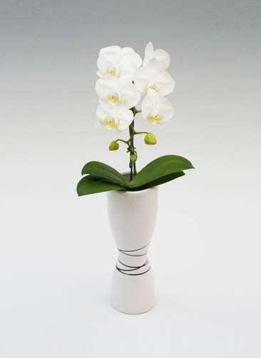 ミディ胡蝶蘭 アマビリス 1本立ち 凛 白鉢