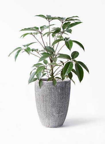 観葉植物 ツピダンサス 8号 ボサ造り アビスソニア トール 灰 付き