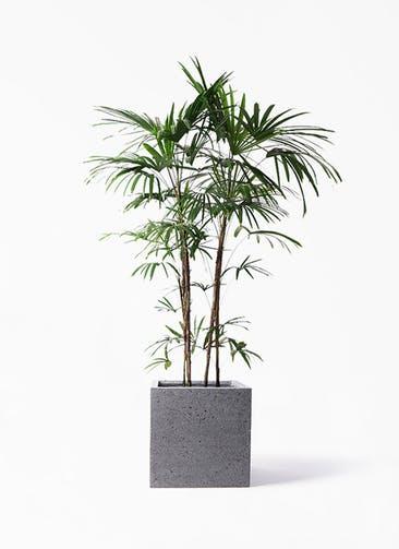 観葉植物 シュロチク(棕櫚竹) 10号 キューブ ラテルストーン 付き