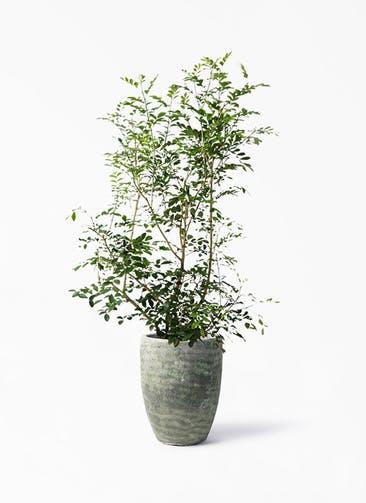 観葉植物 シルクジャスミン(げっきつ) 8号 アビスソニア トール 緑 付き