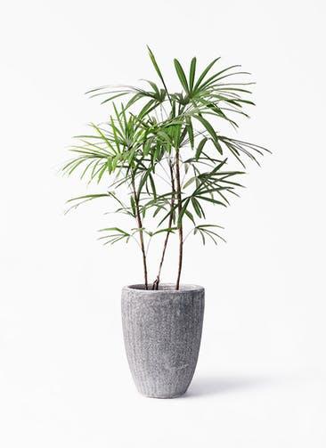 観葉植物 シュロチク(棕櫚竹) 8号 アビスソニア トール 灰 付き