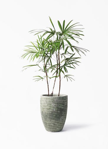 観葉植物 シュロチク(棕櫚竹) 8号 アビスソニア トール 緑 付き