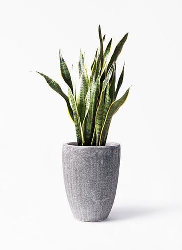 観葉植物 サンスベリア 8号 トラノオ アビスソニア トール 灰 付き