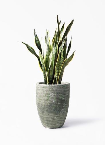 観葉植物 サンスベリア 8号 トラノオ アビスソニア トール 緑 付き