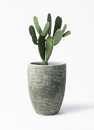 観葉植物 ウチワサボテン 8号 アビスソニア トール 緑 付き