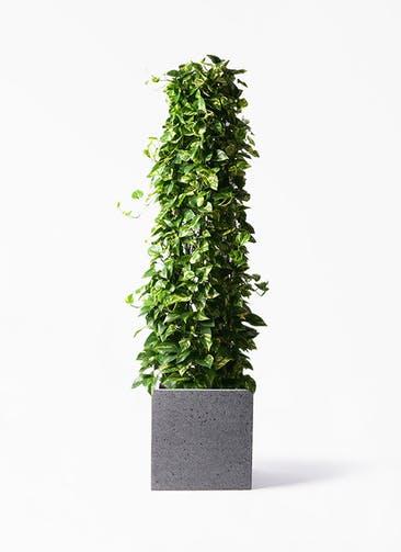 観葉植物 ポトス 10号 キューブ ラテルストーン 付き