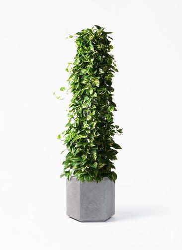 観葉植物 ポトス 10号 コーテス ヘックス 灰 付き