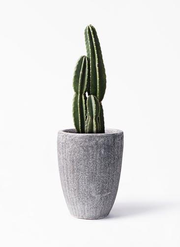 観葉植物 柱サボテン 8号 アビスソニア トール 灰 付き