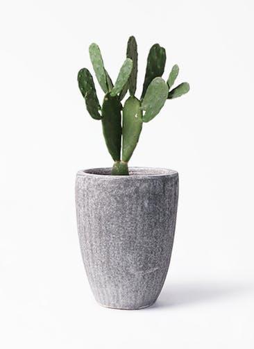 観葉植物 ウチワサボテン 8号 アビスソニア トール 灰 付き