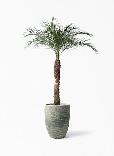 観葉植物 フェニックスロベレニー 8号 アビスソニア トール 緑 付き