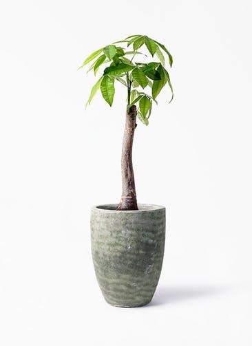 観葉植物 パキラ 8号 朴 アビスソニア トール 緑 付き