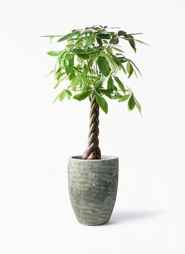 観葉植物 パキラ 8号 ねじり アビスソニア トール 緑 付き