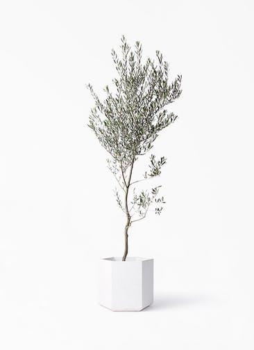 観葉植物 オリーブの木 10号 創樹 コーテス ヘックス ホワイトテラゾ 付き