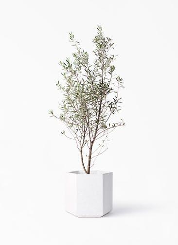観葉植物 オリーブの木 10号 チプレッシーノ コーテス ヘックス ホワイトテラゾ 付き