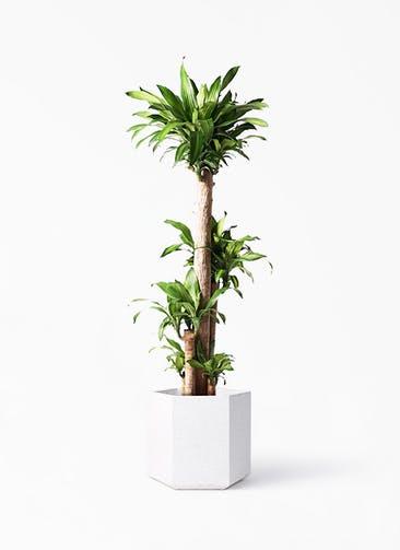 観葉植物 ドラセナ 幸福の木 10号 ノーマル コーテス ヘックス ホワイトテラゾ 付き