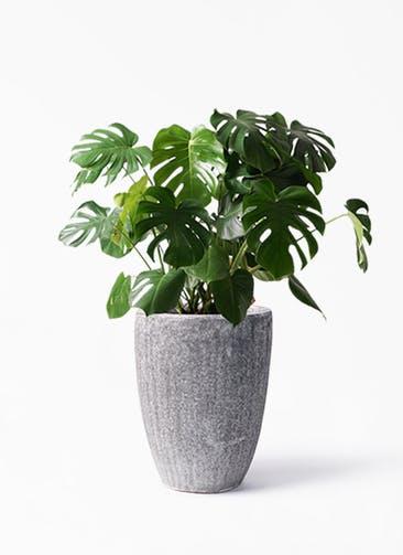 観葉植物 モンステラ 8号 ボサ造り アビスソニア トール 灰 付き