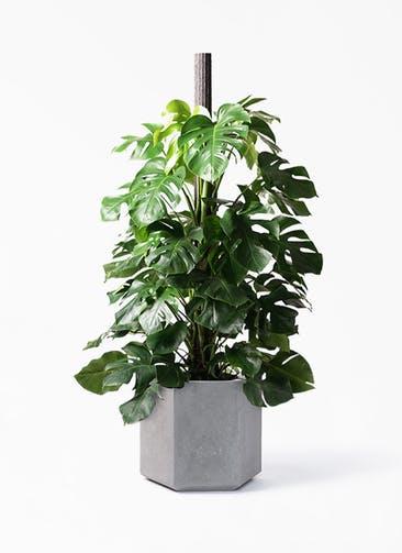 観葉植物 モンステラ 10号 木柱 コーテス ヘックス 灰 付き