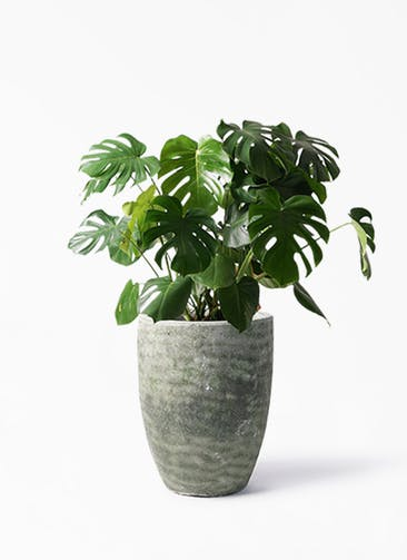 観葉植物 モンステラ 8号 ボサ造り アビスソニア トール 緑 付き